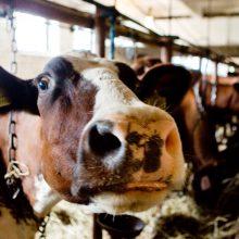 Netinkamai laikyti galvijai paimti iš ūkininko