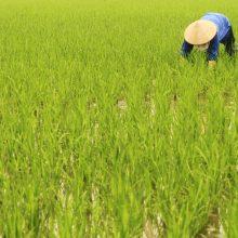 Vietnamas stabdo ryžių eksportą