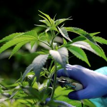 Ukraina planuoja legalizuoti medicininę marihuaną