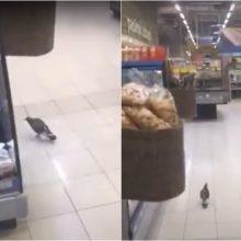 Kaunietis apstulbo: maisto parduotuvėje laiką leidžia ir laukiniai paukščiai