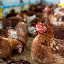 ŽŪM: nukentėję nuo pandemijos paukščių laikytojai galės gauti paramą