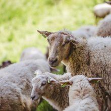 Gegužę Ribiškių pažintinio tako teritorijos kraštovaizdžiu ims rūpintis 15 avių
