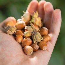 Rudeninės gėrybės – iš Maironio puoselėto sodo