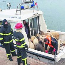 Operacija: Rumunijos tarnybos išgelbėjo vos 32 avis iš 14,6 tūkst.