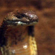 Pensilvanijoje moteris užmušė į jos terasą atšliaužusią kobrą