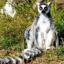Mokslininkai: beveik visoms Madagaskaro lemūrų rūšims gresia išnykti