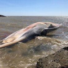 Į Anglijos pakrantę išmestas 12 metrų ilgio banginis
