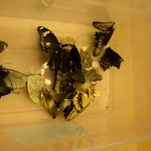 kokie yra drugelio sparnai ant varpos