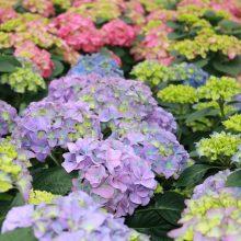 Hortenzijos – daugiametės puošmenos: kaip teisingai auginti?