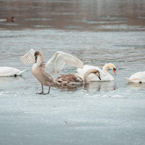 Kaune žiemojantys vandens paukščiai