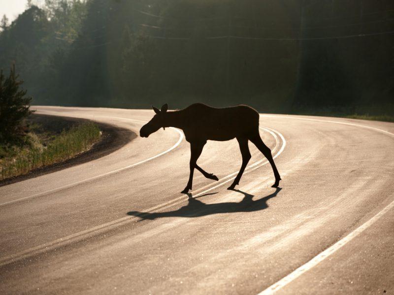 Nukentėjo su briedžiu susidūrusio automobilio keleiviai, gyvūnas nugaišo