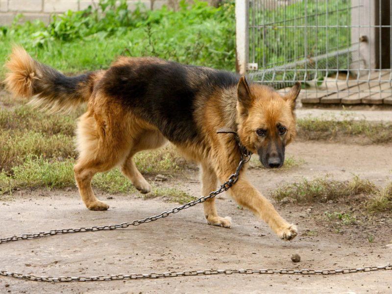 Šuniška istorija: dingusį keturkojį kauniečių šeima rado po penkerių metų