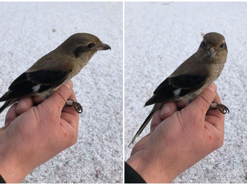 Ventės rage – 400-oji paukščių rūšis