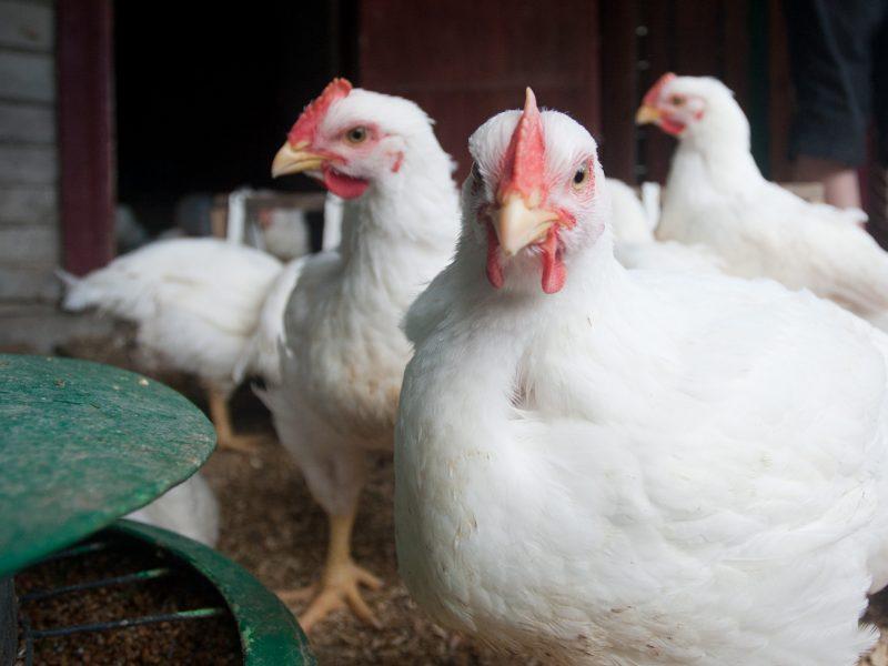 Paukščių augintojams bus kompensuojamos salmoneliozės vakcinų išlaidos