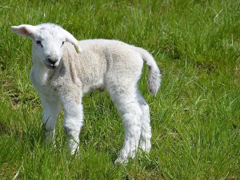 Neįprasta gelbėjimo operacija: iš Nevėžio gniaužtų teko vaduoti avies jauniklį