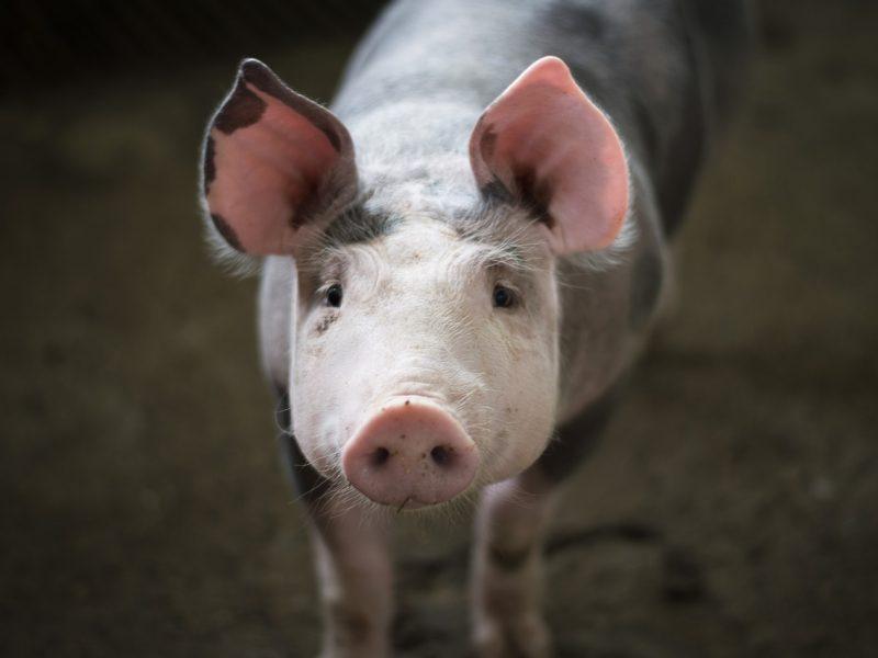 Daliai Kazlų Rūdos savivaldybės teritorijos mažinami apribojimai dėl kiaulių maro