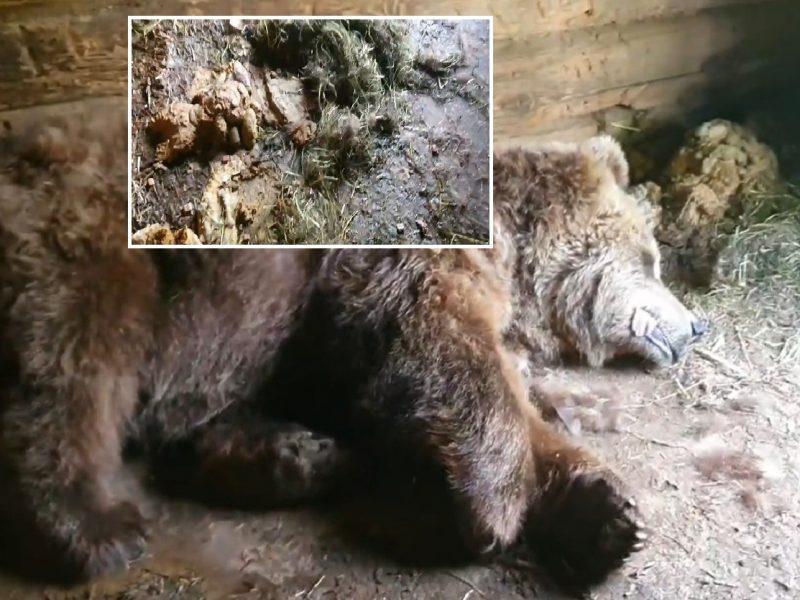 Vaizdai šiurpina: zoologijos parko meška priversta gulėti voljere tarp išmatų