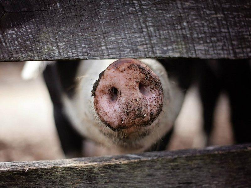 Afrikinis kiaulių maras toliau plinta Europoje