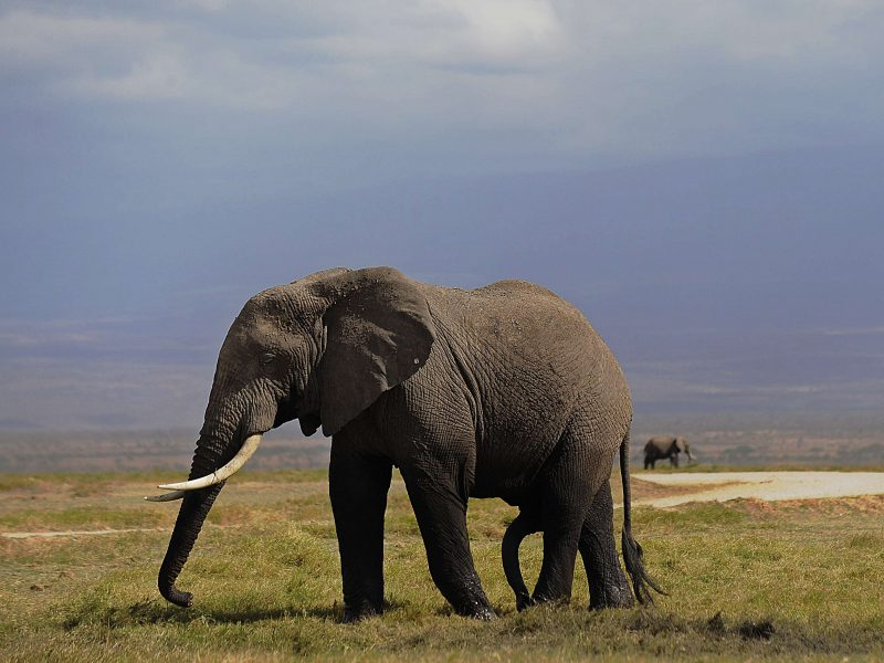 Brakonieriai iššaukė dramblių evoliuciją