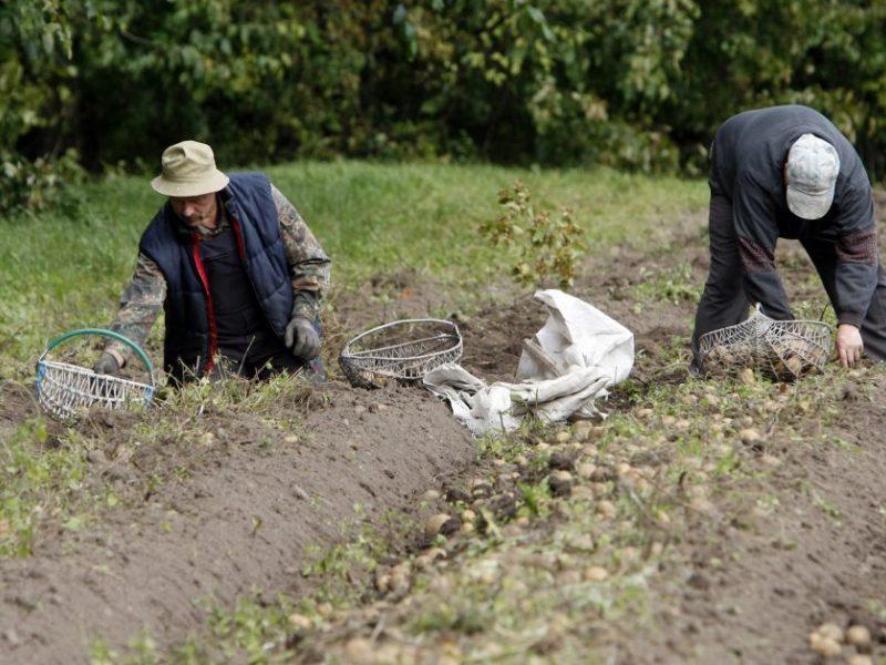 Šalies ūkininkų problemos: mažėja bulvių laukų, derlius menksta ir brangsta