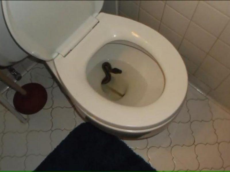 Netikėtumas tualete: unitaze tūnojęs pitonas įkando moteriai