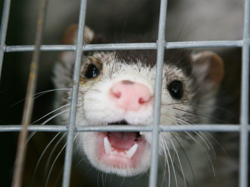 Nyderlandų fermose dėl koronaviruso bus nugaišinta tūkstančiai žvėrelių