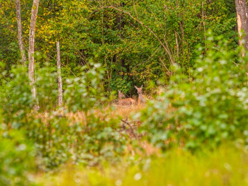 Vilkijos apylinkių miškuose – elnių vestuvių ritualai <span style=color:red;>(vaizdo įrašas)</span>