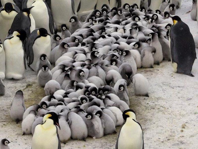 pingvinų prekybos galimybės)