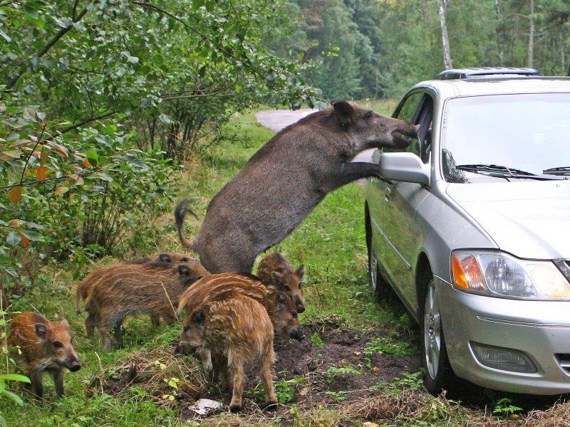 Vairuotojas ir miško žvėris. Kaip saugiai abiem pasidalinti kelią?