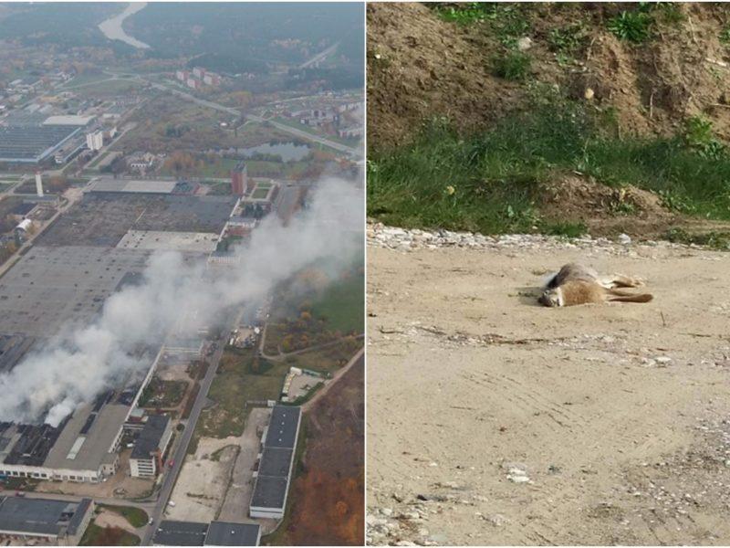 Oficialiai patvirtinta: Alytaus apylinkėse rastas kiškis nugaišo nuo gaisro padarinių