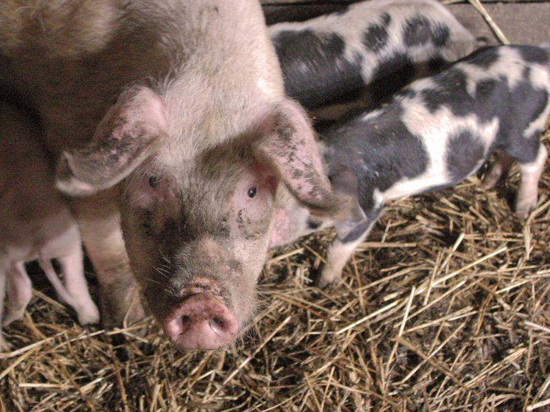 Išsikvėpęs kiaulių maras keliauja link pajūrio