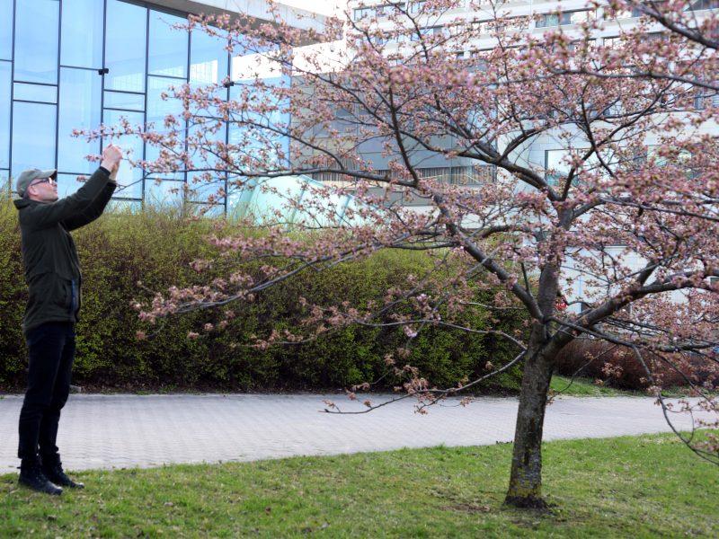 Vilniuje pradeda žydėti sakuros
