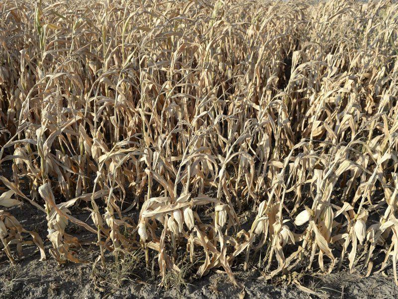 Bus pradedama mokėti kompensacijas nuo sausros nukentėjusiems ūkininkams