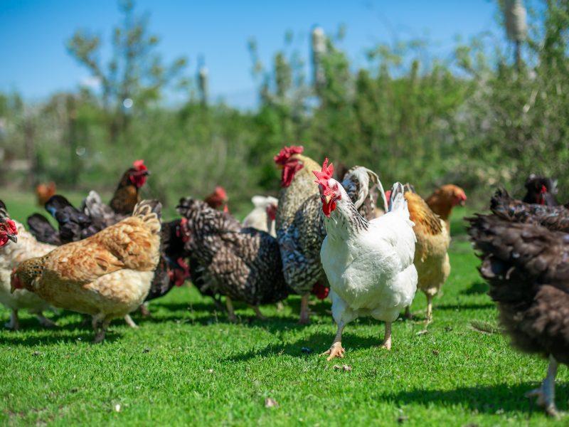 Paukščių gripas patvirtintas Rokiškio ir Lazdijų rajonuose nugaišusiems naminiams paukščiams