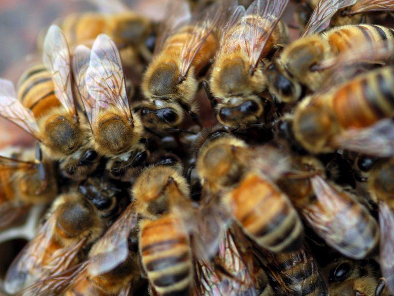 Izraelyje vagystę išaiškinti padėjo... bitės