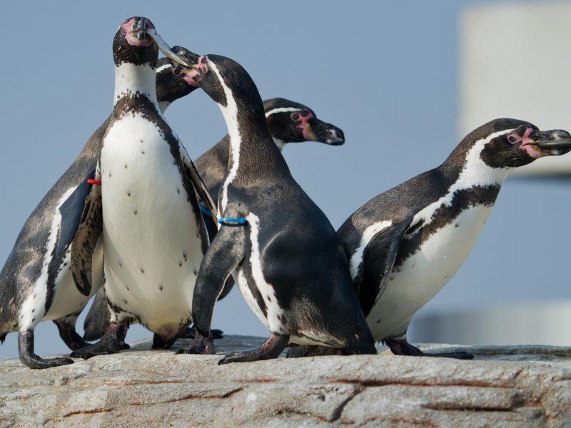 Pingvinus sunervino ištempta valties virvė