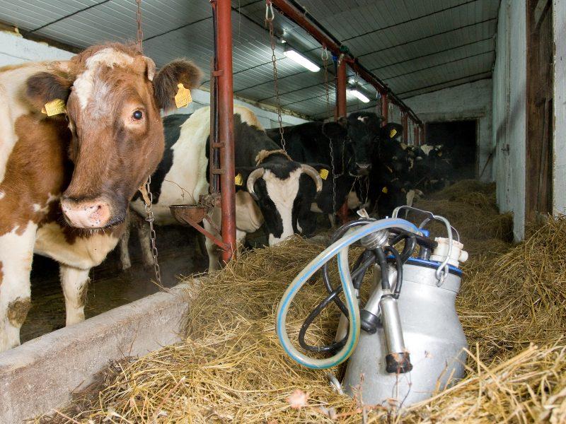 Ūkininkams vis labiau apsimoka parduoti pieną Lietuvoje