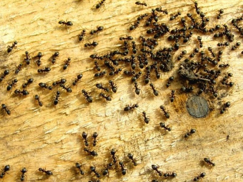 skruzdėlės ir erekcija)
