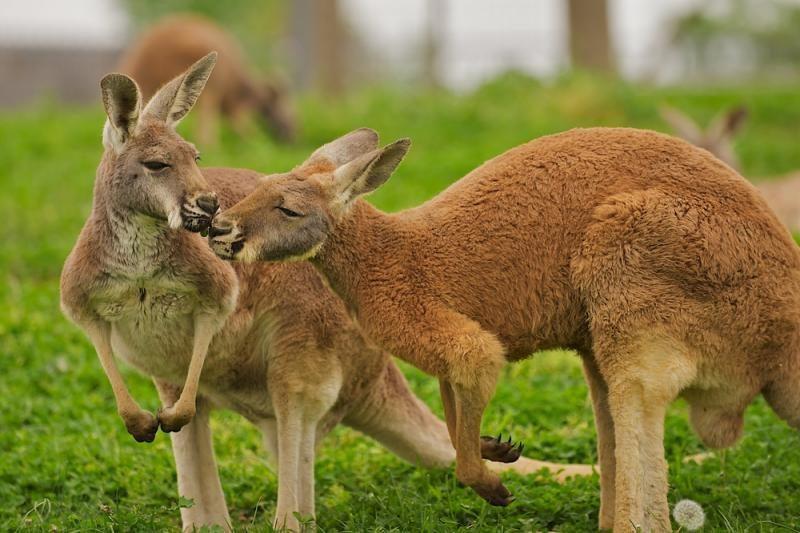 kokią varpą turi kengūra prarasta erekcija po masažo