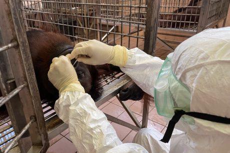 Borneo salos orangutanai patikrinti dėl COVID-19