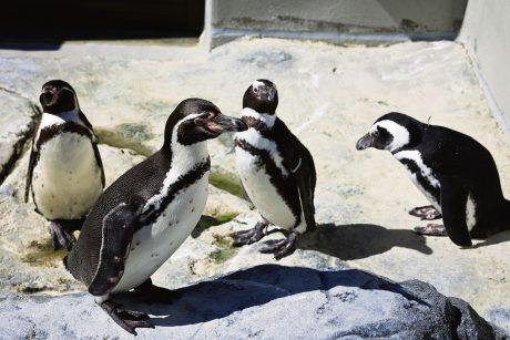 Lietuvos jūrų muziejaus pingvinų būryje – keturi naujokai