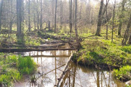 Miško lankytojus stebina išvartyti medžiai: darbuojasi stambiausias Lietuvos graužikas
