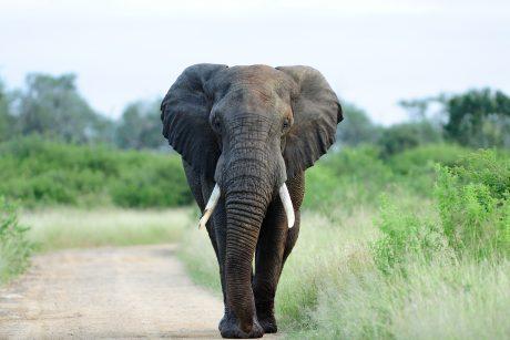 Indijoje dramblys užmušė 16 žmonių